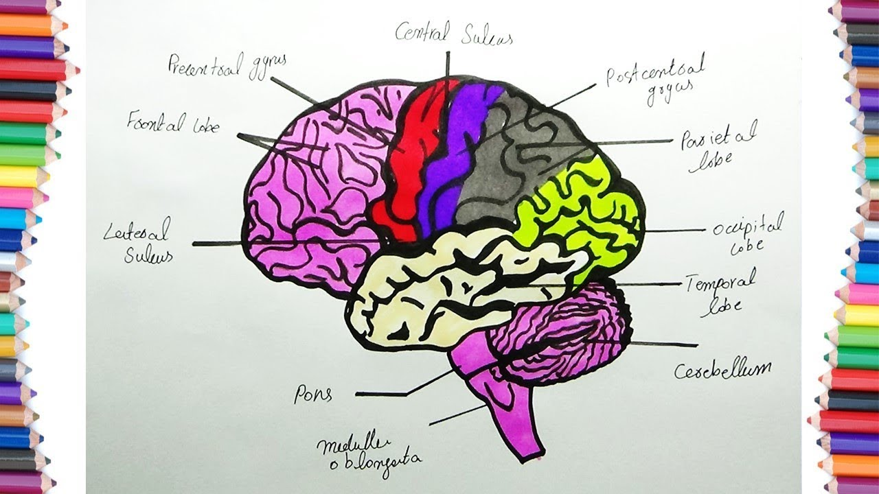 How To Draw Human Brain Diagram For Kids