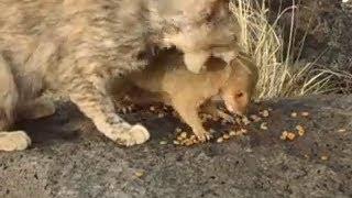 cat vs mongoose