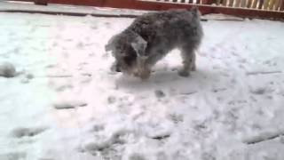 Hairy Schnauzer Again In The Snow
