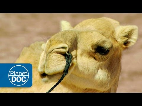 Camels and Dromedaries | Nomads of the Sahara