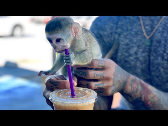 Baby monkey morning coffee run!