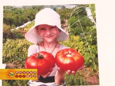 Новые сорта экзотических томатов из коллекции Дмитрия Гусева (2 часть)