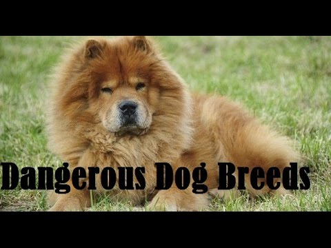 ✛ Top 10 Dangerous Dog Breeds Most Likely To Turn  On Their Owners ✛