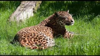 ягуар животное часть  2