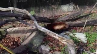 Red Panda Eating - Turtleback Zoo (Part 1)