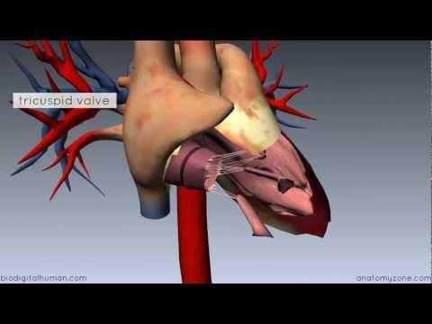 Heart Anatomy - Right Ventricle - 3D Anatomy Tutorial