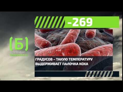 При какой температуре выживает палочка Коха, вызывающая туберкулез?