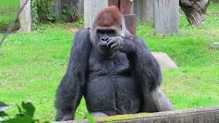 2017年10月10日(火)撮影 八木山動物園のゴリラのドン君 49歳!! まだ...