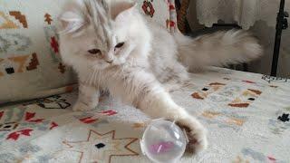 Красивый котенок играет с мячом