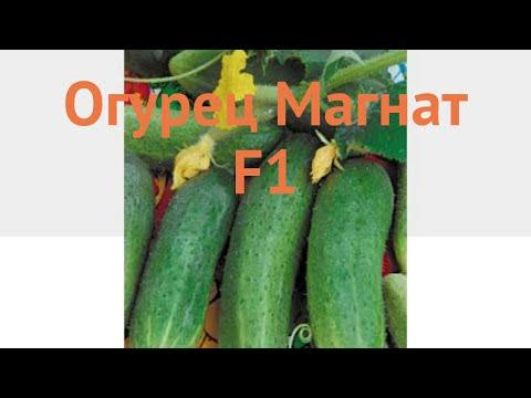 Огурец обыкновенный Магнат F1 (magnat f1) 🌿 Магнат F1 обзор: как сажать, семена огурца Магнат F1
