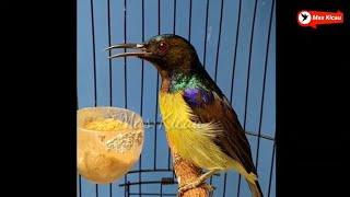 Kolibri Manggar Gacor
