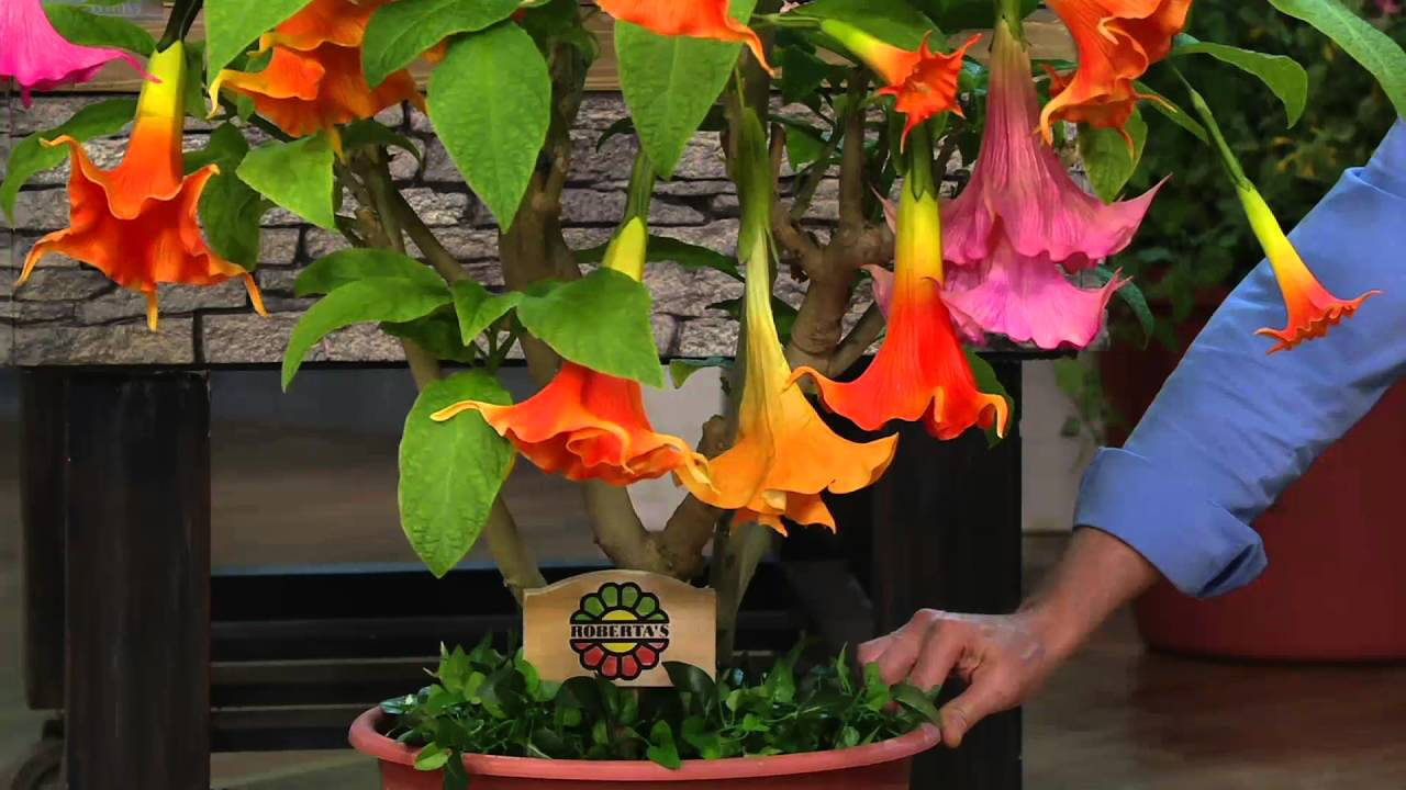 Roberta's 2-pc. Large Bloom Angel Trumpet Patio Tree on QVC - YouTube