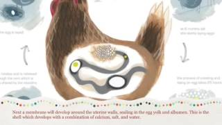 Process of laying eggs:chickens