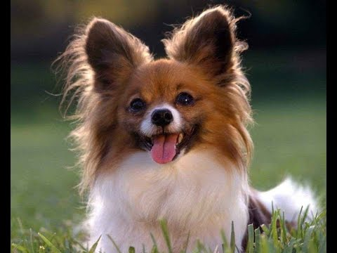 Папильон (фото): собака - Kot-Pes