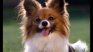Порода собак. Папийон. Любят людей больше чем себя