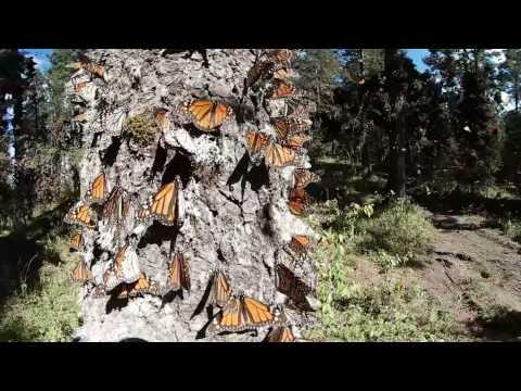 Mariposa Monarca 360° grados  4k Santuario Michoacán Mexico
