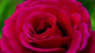 Распускающийся цветок(Просто красиво., 2015-09-22T16:24:18.000Z)