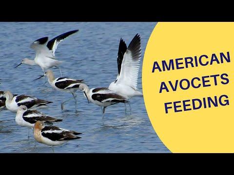 American Avocets Feeding In South Dakota 2020