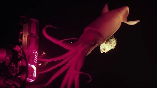 Jumbo squid caught on camera for Blue Planet II | Earth Unplugged
