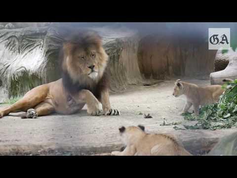 Die Löwenbabys im Zoo Neuwied