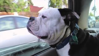 Dogs Enjoy Car Ride