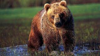 Смотреть всем!!! Медведи Гризли   Документальный фильм