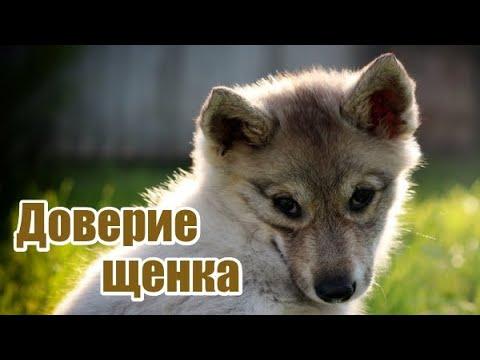 Дрессировка щенка. Доверие собаки, концентрация, мотивация...