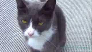 Серая кошка с желто-зелеными глазами