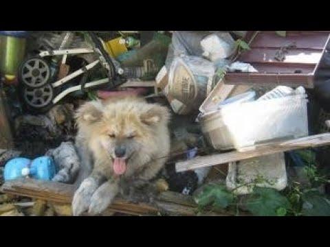 秋田犬 大吉くんの過去・・・・Dog Rescue A&R
