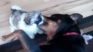 Rottweiler Loves Her Shih Tzu