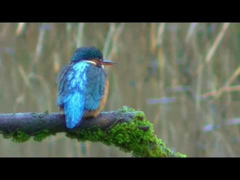 The Kingfisher And Its Call