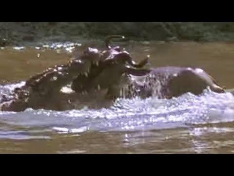 Crocodile Strikes Wildebeest Massive Nature Bbc Youtube