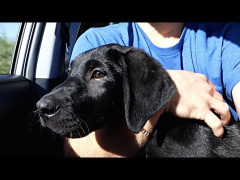 Labrador Puppy Goes To The Vet!!