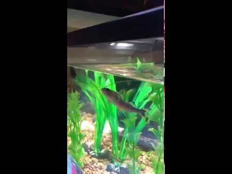Betta Fish With Pictus Catfish Tetra And Shrimp (getting Along)