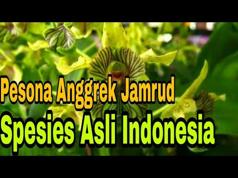 Anggrek Jamrud godean.web.id