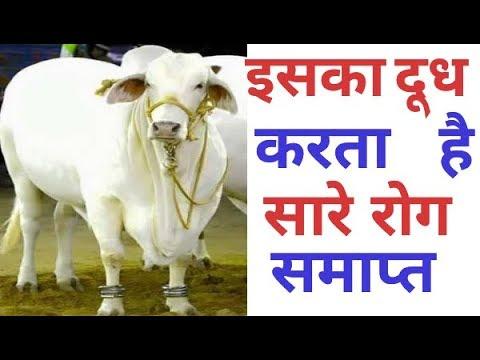 कौन सी देसी गाय सबसे गुणकारी है ? Thanks Bharat
