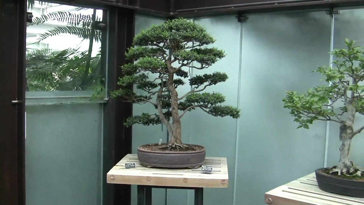 Como Zoo Bonsai Tree Display Minnesota Usa 2010 Youtube