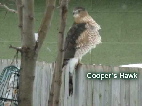 YT Hawks sharpshinned coopers