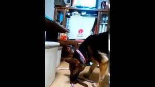 テレビで犬がビリヤードをしていたのを見て、おにーちゃんと散歩に行き...