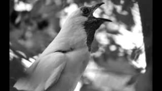 Cantos dos pássaros do Brasil sinfonia das aves