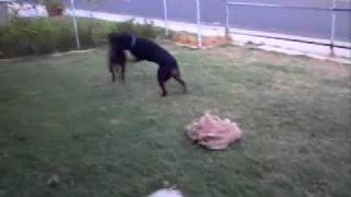 Rottweiler Vs. Dutch Shepherd