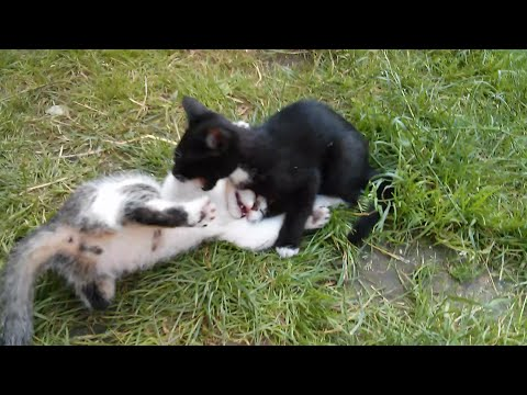 Two little cats fighting training