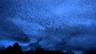 An amazing Starling Murmuration, Galway Ireland 2013 HD