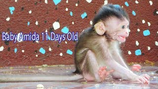 Poor Tiny Baby Amida Just 11 Days Old Left Mama To Walk A lone So Scare Others Monkeys