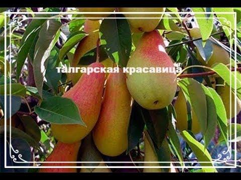 Вкусная осенняя груша Талгарская красавица. Поздний сорт груши.
