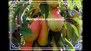 вкусная осенняя груша Талгарская красавица. Поздний сорт груши