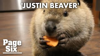 Justin Beaver is 'dam' cute | Page Six Celebrity News