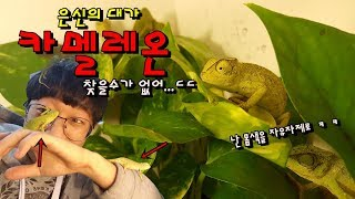 혓바닥15cm 카멜레온의 놀라온 능력 무지개색 변신 능력 정브르 senegal chameleon grace pool chameleon breeding