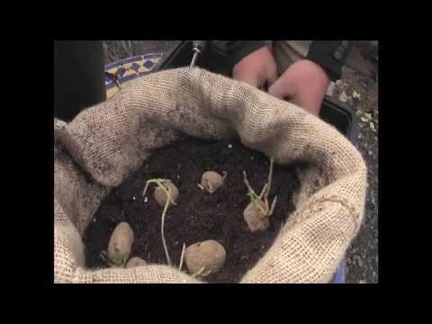 C mo cultivar patatas en tu casa balc n comestible for Como cultivar patatas