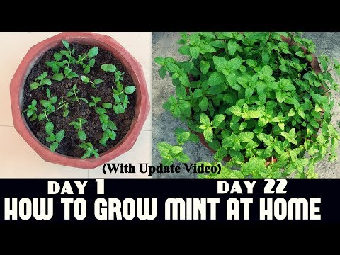 How to Grow Mint at Home Fast n Easy